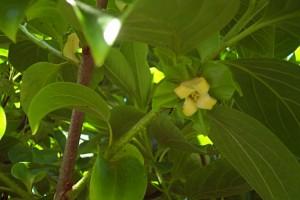 Feuille et fleur de l'arbre à kaki